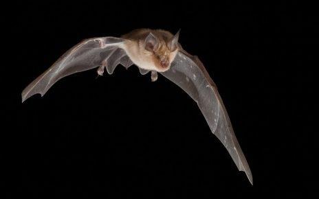 Летучая мышь в полёте