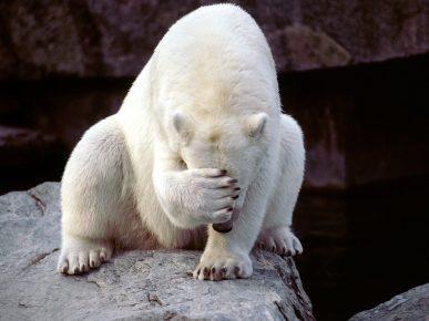 Белый медведь закрыл глаза