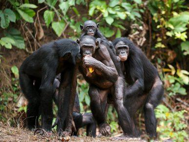 Обезьяны бонобо