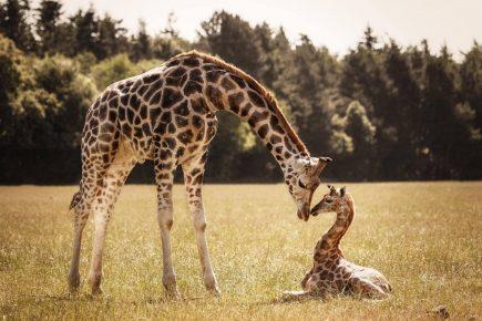 Жираф и его детёныш