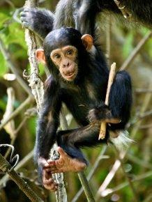 Детёныш шимпанзе