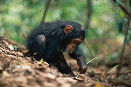 Маленький шимпанзе играет
