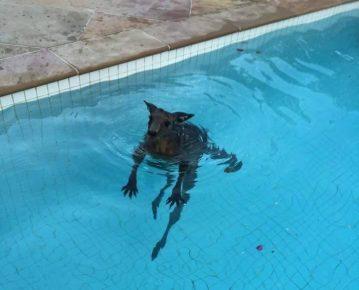 Кенгуру в воде