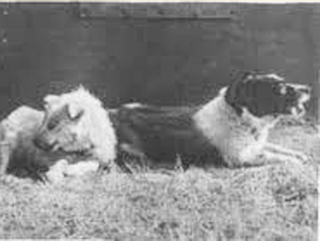 Собаки Рыжая и Джойна