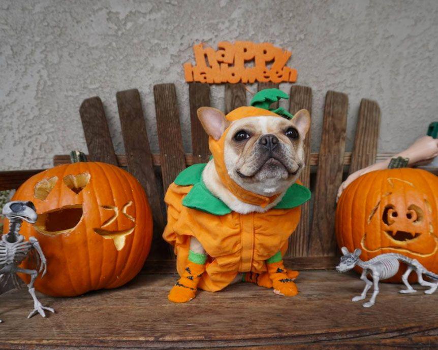 Пёс в костюме тыквы