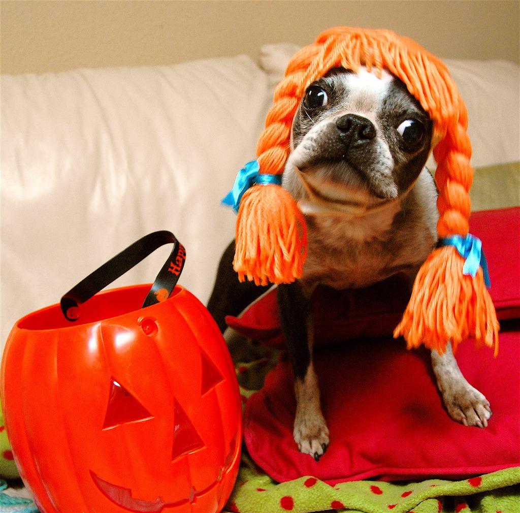 Собака в ярком парике