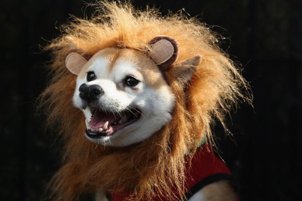 Собака в костюме льва