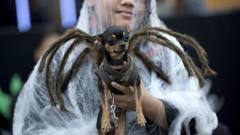Собачка в костюме паука