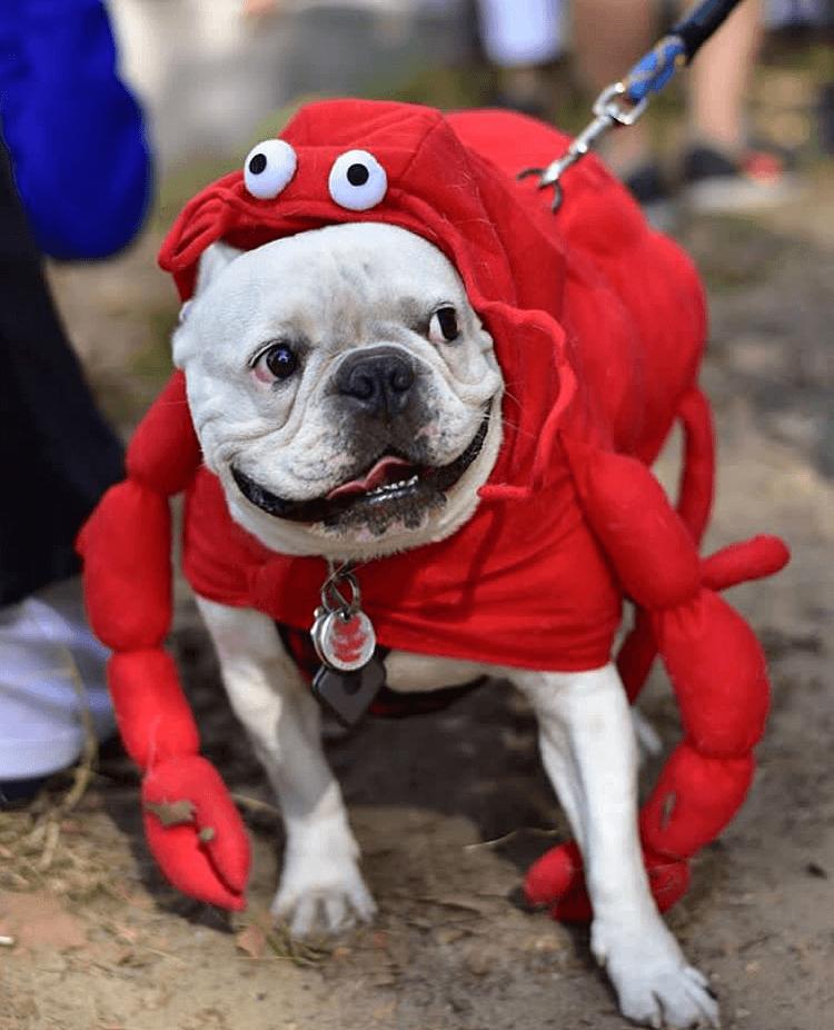 Собака в костюме краба