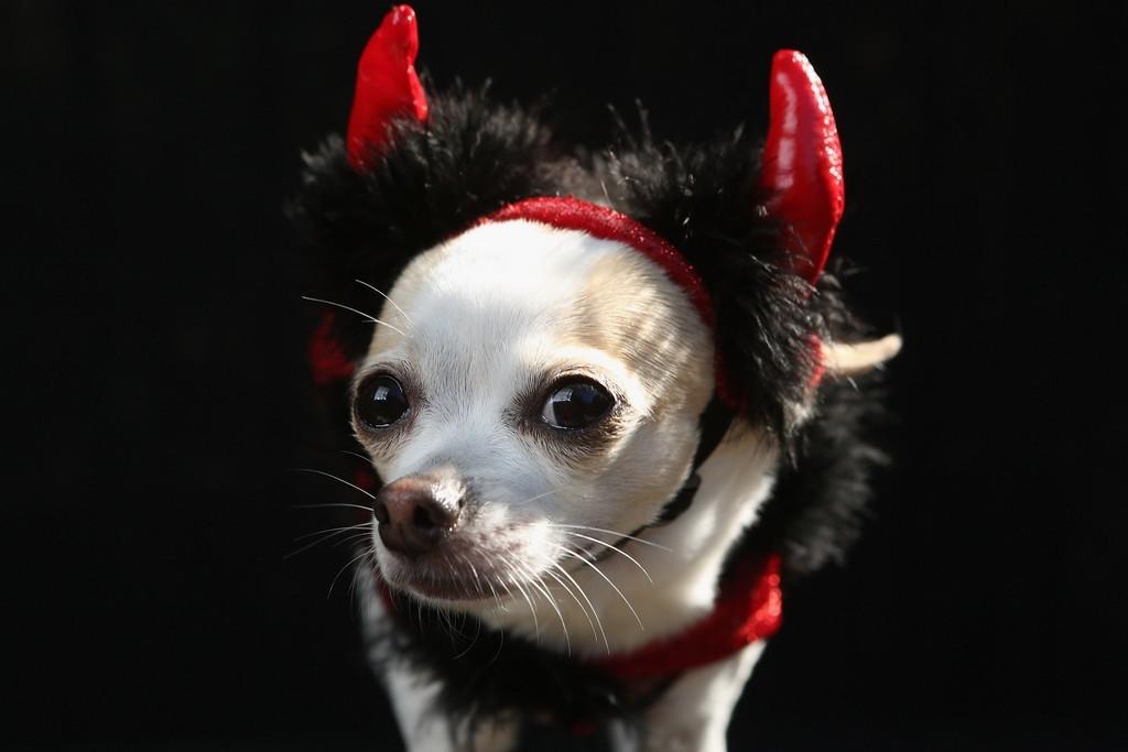 Собака в костюме чёртика