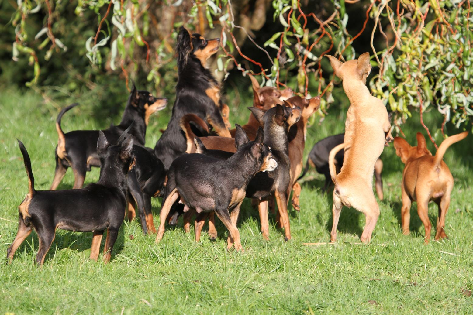 Собаки породы пражский крысарик