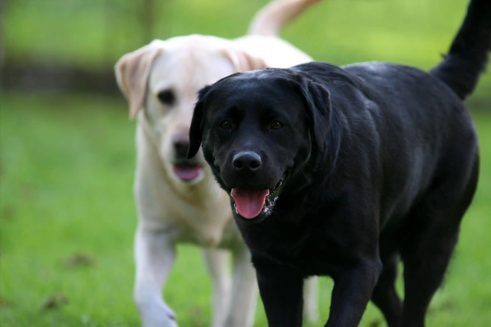 Собаки породы лабрадор ретривер