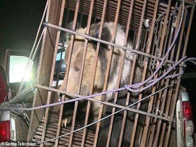 Спасённого медведя погружают в клетку из прутьев