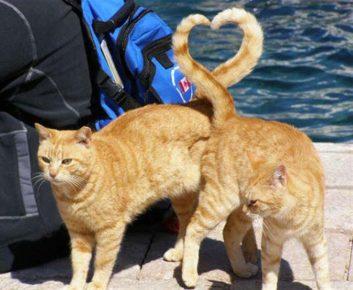 Коты из хвостов нарисовали сердце