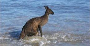 Спасите кенгуру