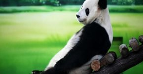 Запрещена любая коммерческая деятельность, связанная с пандами
