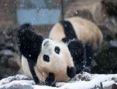 Зимние забавы с пандами