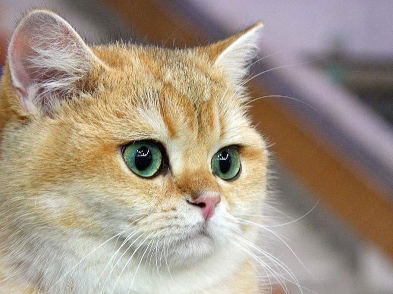 Конъюнктивит у кошек как лечить воспаление глаз