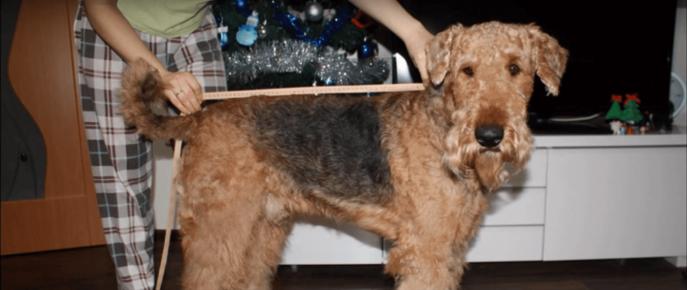 Измерение длины спины собаки