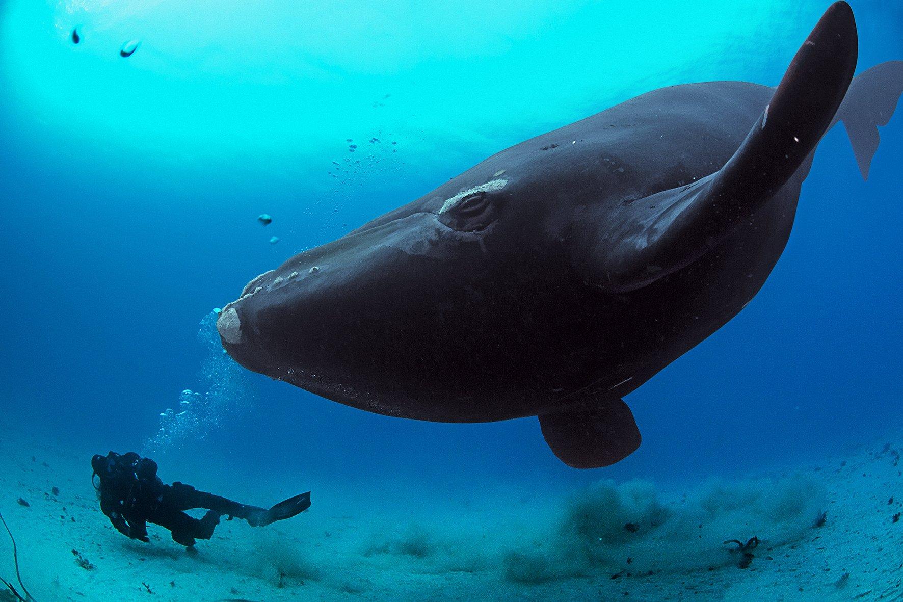 Гренланлский кит