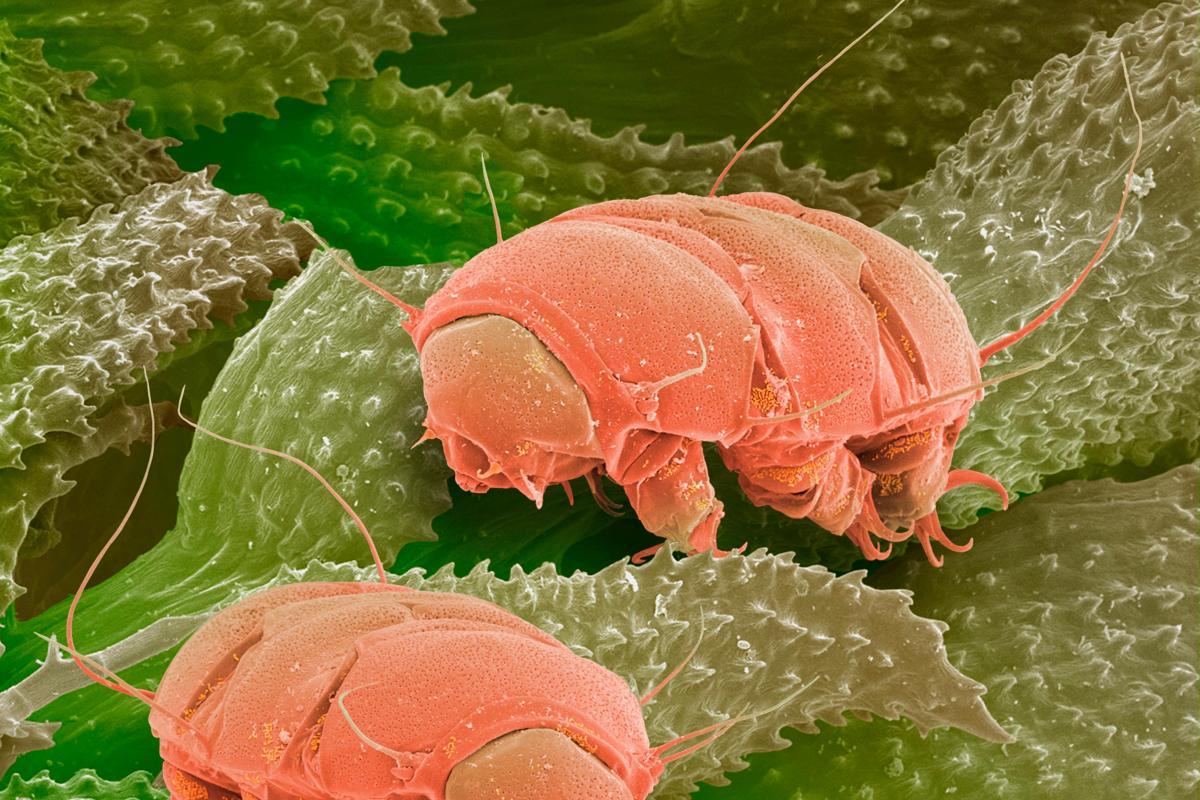 Тихоходки под микроскопом