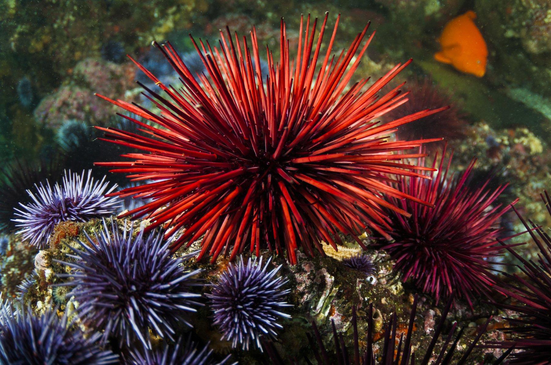 Красный морской еж