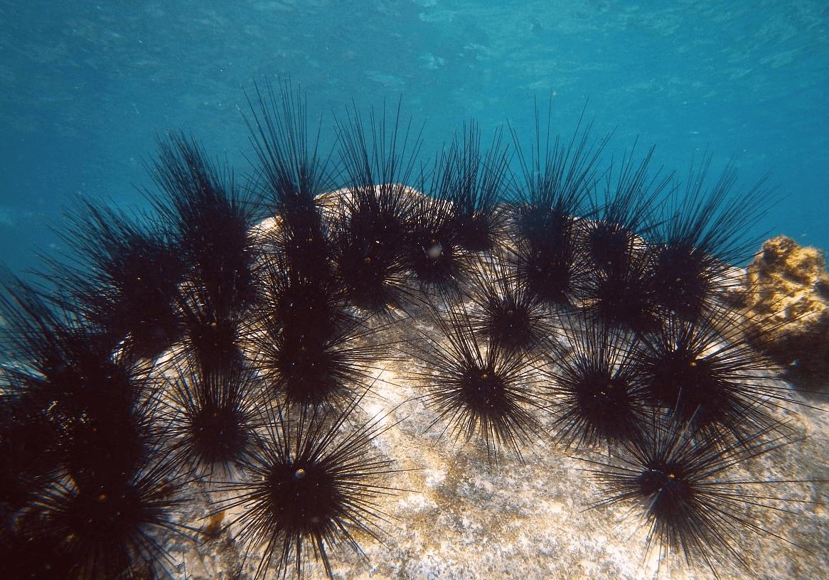 Колония морских ежей