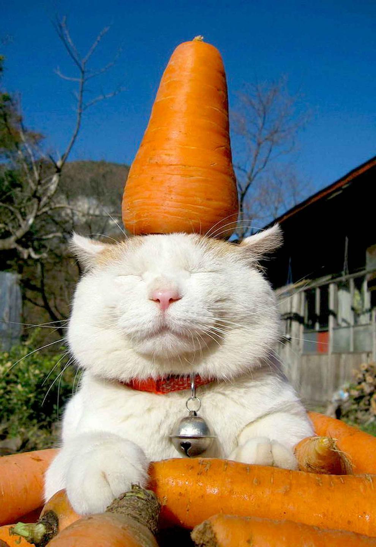 Белый кот держит на голове морковь