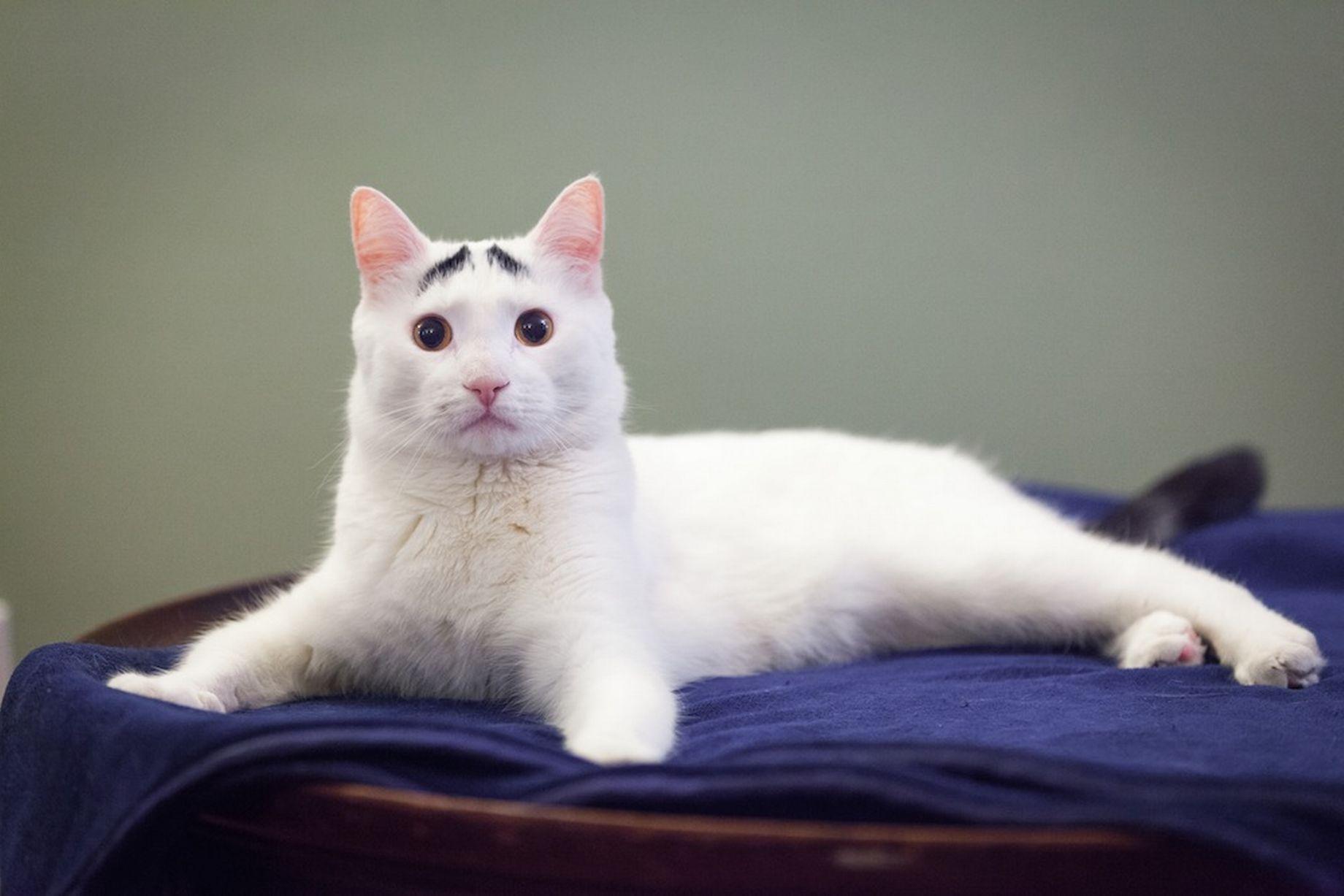 Сэм — кот с бровями