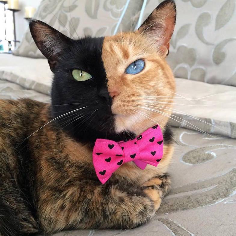 Венера (Venus), Кошка с двумя лицами