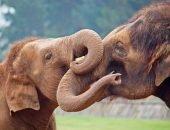 Слон после операции первым делом захотел увидеть возлюбленную