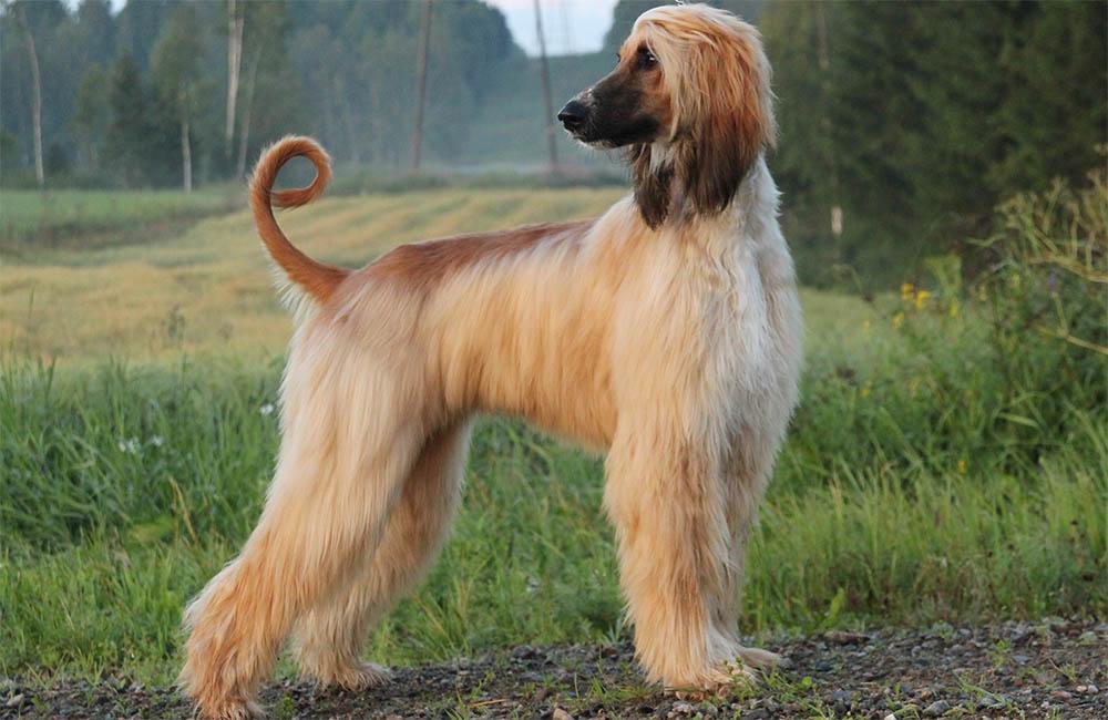 самые упрямые породы собак