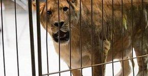 Девочка выходит из комы после нападения львицы в цирке