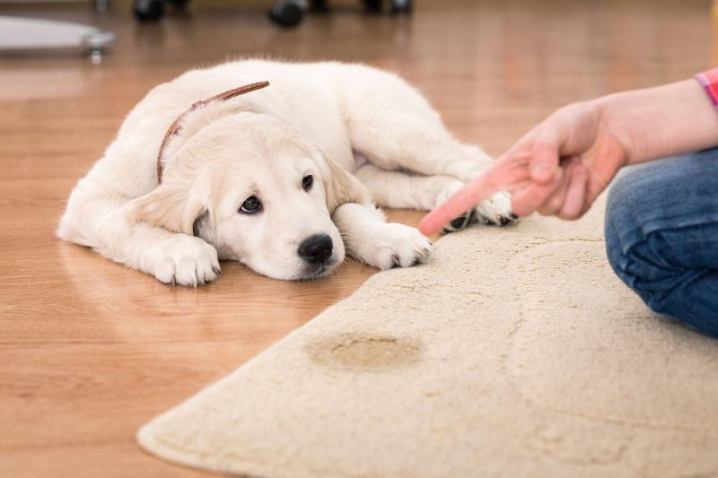 Как приучить щенка к туалету на улице или в квартире