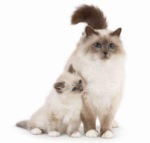Кошки породы священная бирма