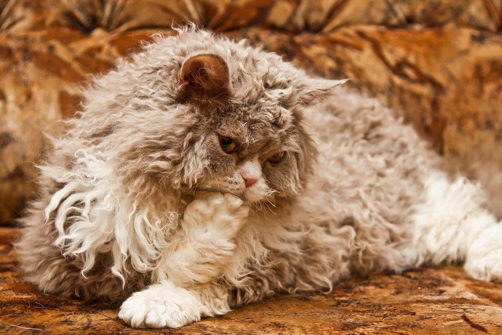 кудрявый кот фотографии сердечно поздравляю вас