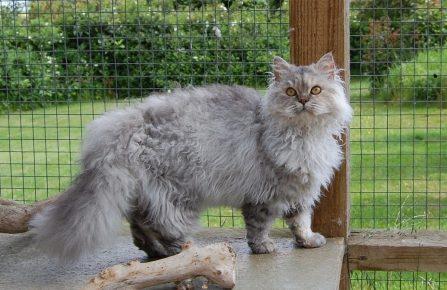 породы кудрявых кошек с фотографиями и названиями