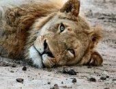 Льва бросили и оставили умирать