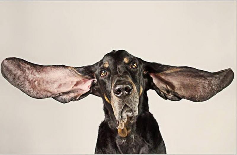 Вторая собака с длинными ушами