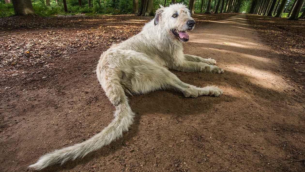 Собака с самым длинным хвостом