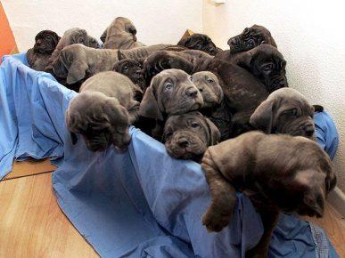 24 щенка в одном помёте