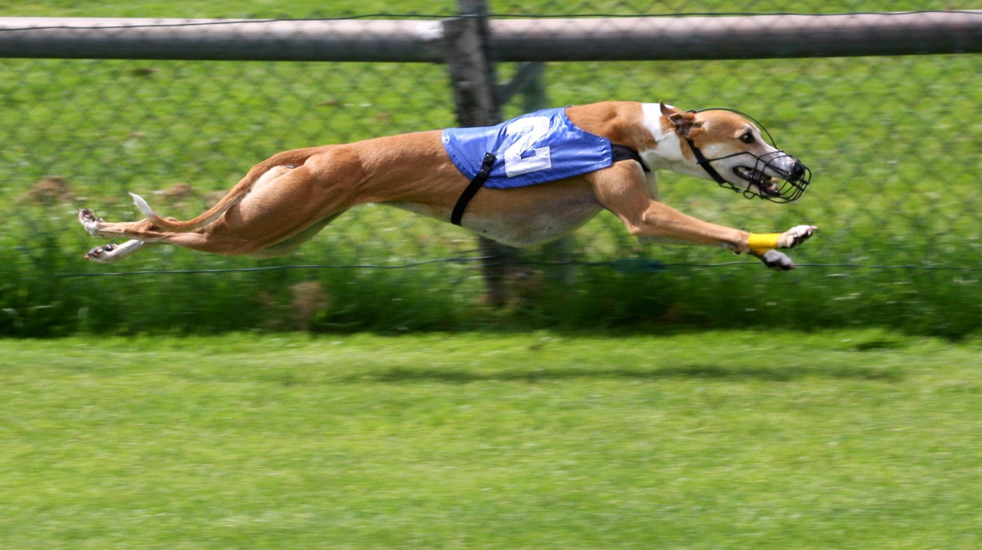 Самая быстрая собака