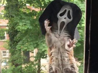 Белка примеряет маску из фильма ужасов «Крик»