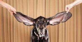собака рекорд