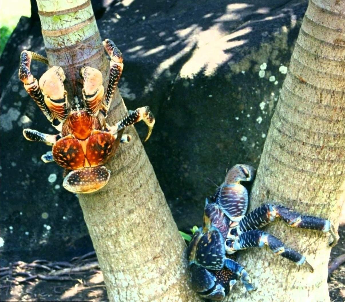 Крабы забираются на дерево