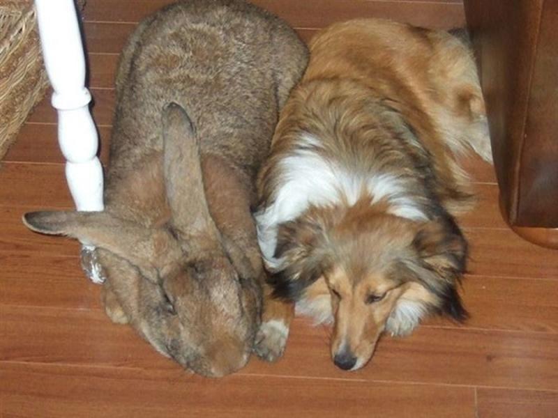 Кролик рядом с собакой