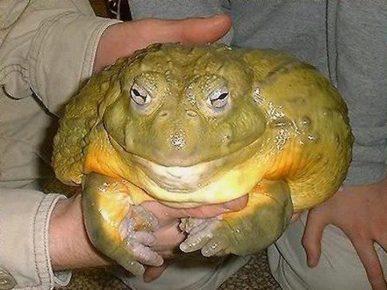 Гигантская лягушка