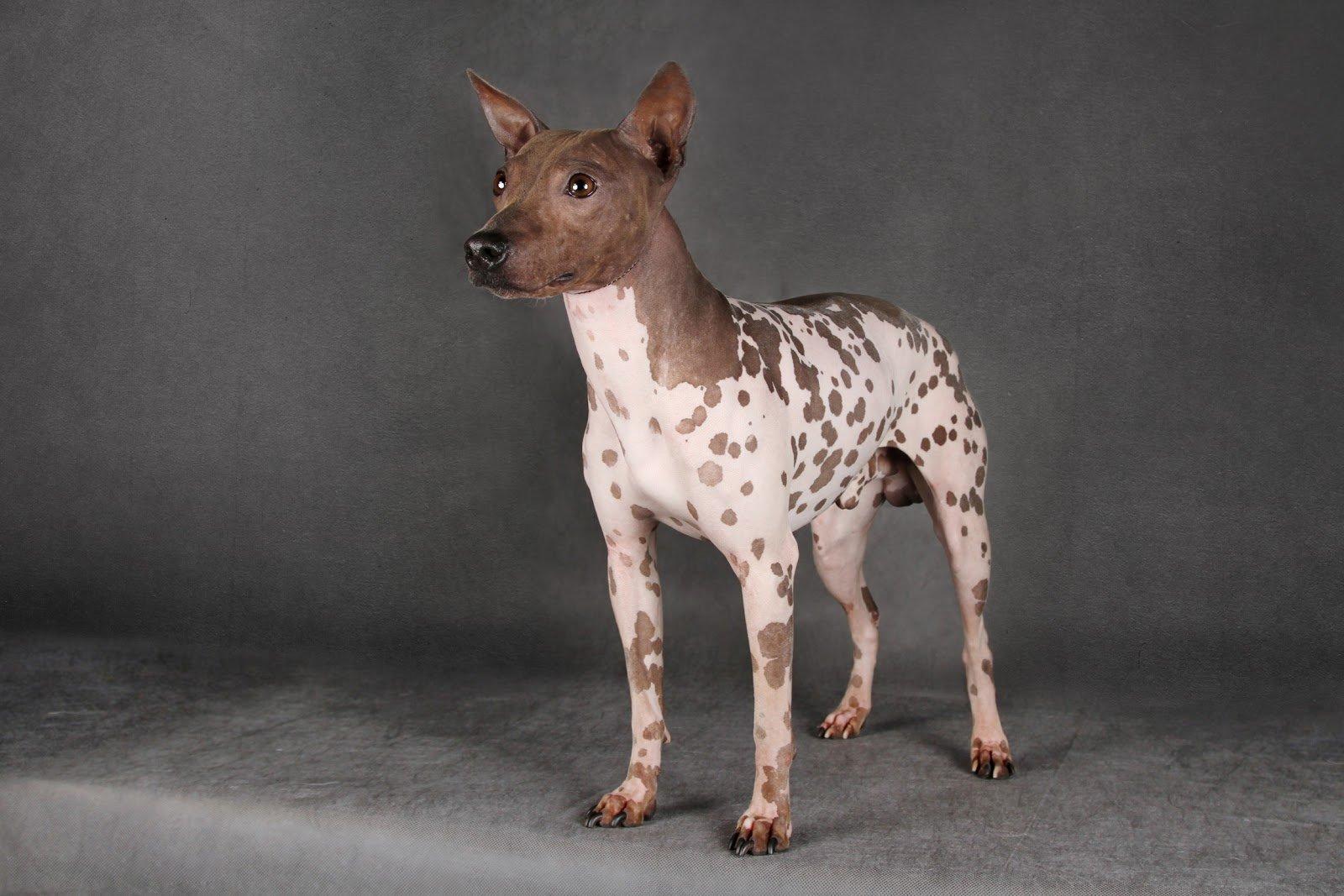 Американская лысая собака