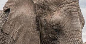 Слон пошёл на выздоровление после операции