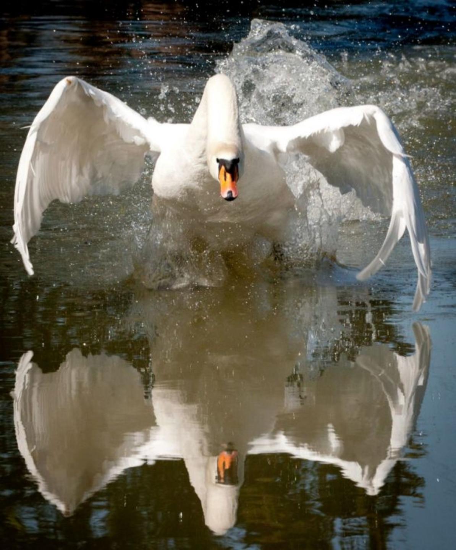 Лебедь-шипун нападает